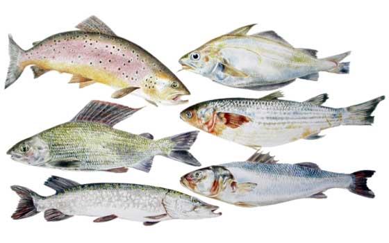 Lista Vermelha de Peixes: Será que está a comer espécies ameaçadas?