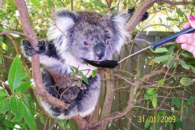 Koalas com Sede