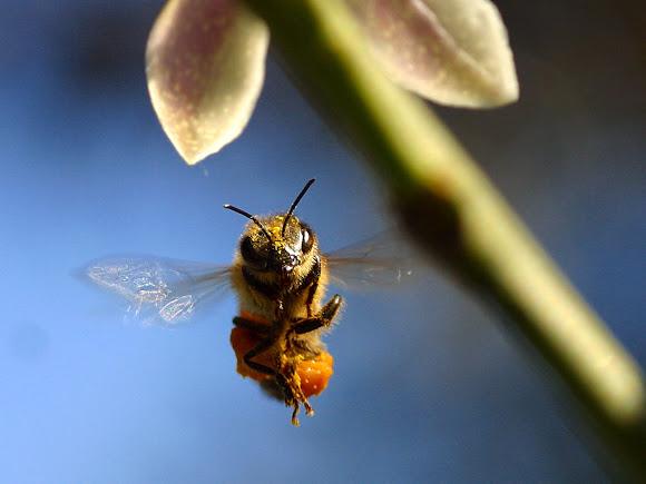 O Desaparecimento das Abelhas Requer Medidas Urgentes