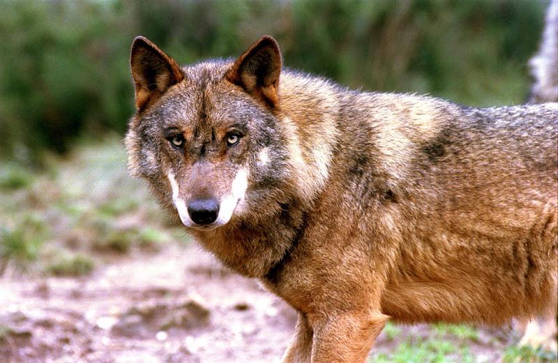 Ajudem a Salvar o Lobo Ibérico!