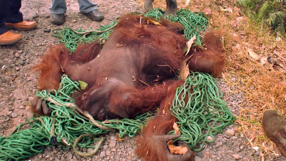O Último Reduto dos Orangotangos Está a Arder (Indonésia)