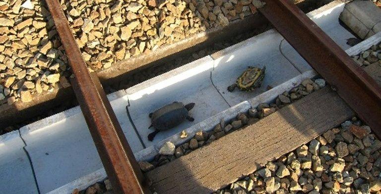 Japão Constrói Túneis para Salvar Tartarugas dos Comboios