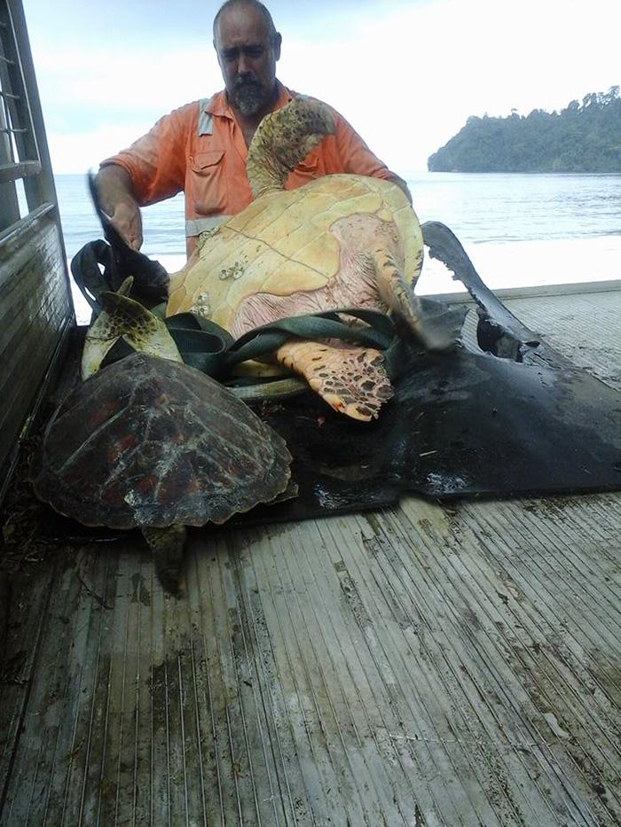 Tartarugas Compradas num Mercado Local na Papua-Nova Guiné São Devolvidas ao Mar