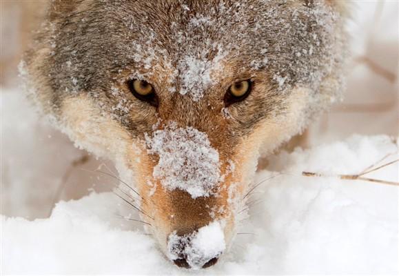 11 Mil Noruegueses com Licença para Matar 16 Lobos dos 30 em Liberdade…