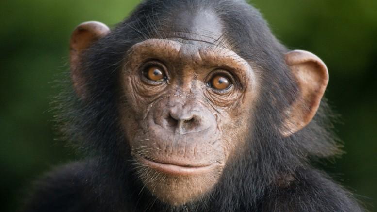 EUA Deixam de Usar Chimpanzés como Cobaias em Investigações Médicas