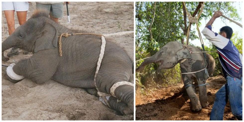 A razão por que não deve andar NUNCA de elefante