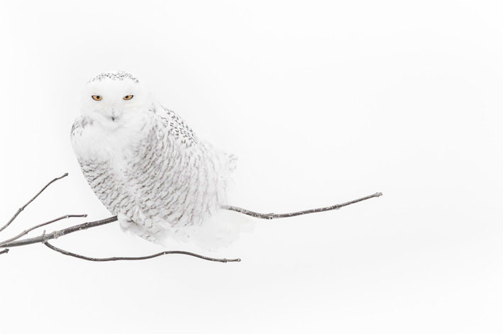 Coruja das Neves