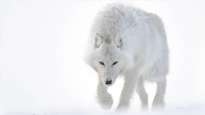 Incrível Vídeo da Viagem de um Fotógrafo pelo Ártico com Lobos, Raposas e Ursos Polares