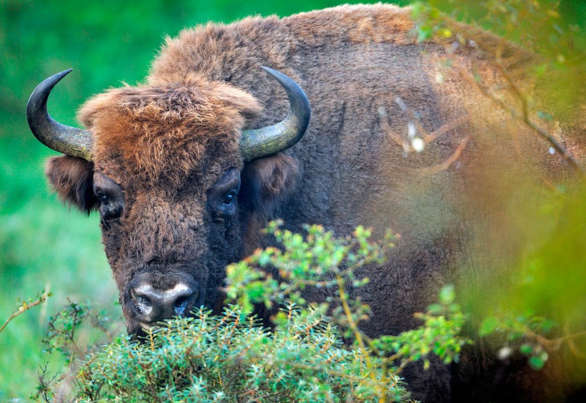 Bisontes Selvagens Regressam à Europa