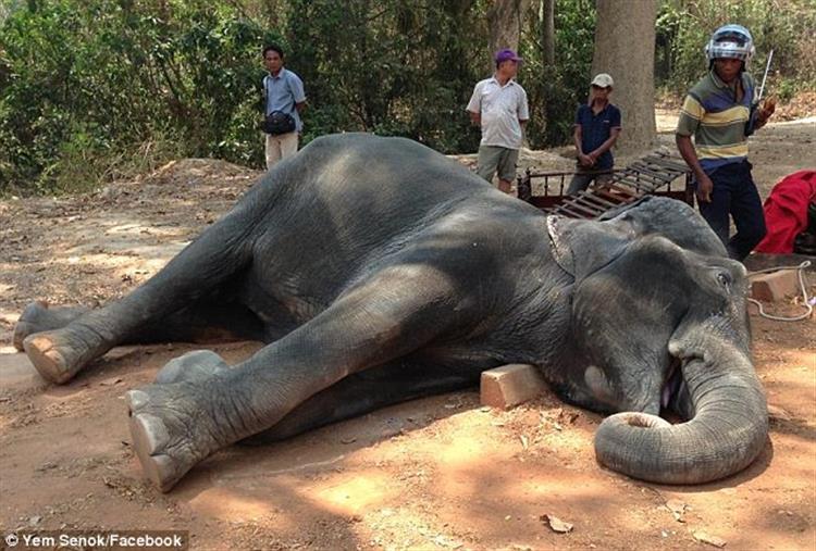 Elefante Morreu de Exaustão após 15 Anos a Transportar Turistas