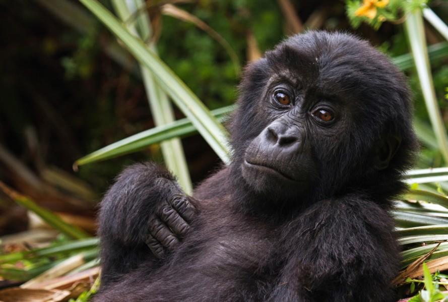 Guerra Civil no Congo está a Levar Gorilas Raros à Extinção