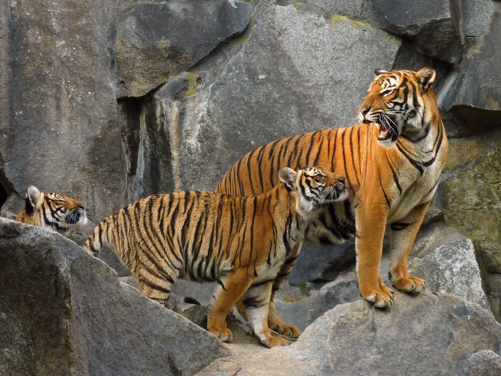 Tigre Declarado Extinto no Camboja