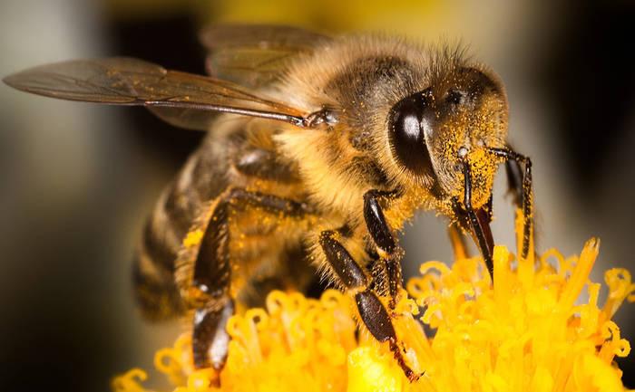 Abelhas Desaparecem no Resto do Mundo e em Portugal Aumentam