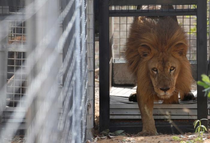 33 Leões Resgatados de Circos Foram Enviados para um Santuário na África do Sul