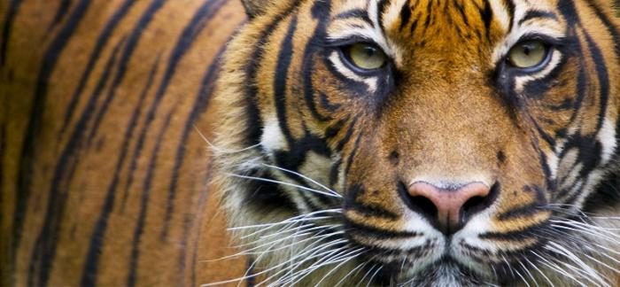 Um Parque do Tamanho de Nova Iorque para Salvar os Tigres e os Rinocerontes de Sumatra
