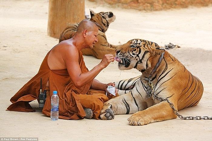 Controverso Templo de Tigres na Tailândia Recebe Licença de Zoo