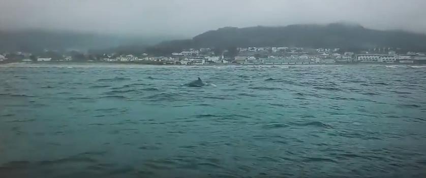 Golfinhos Avistados na Praia de Moledo, Caminha