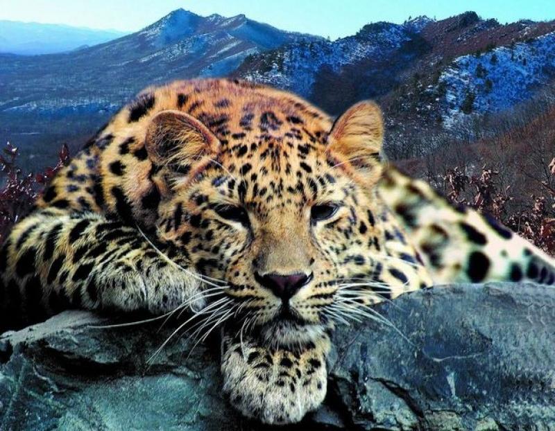 Rússia Constrói Túnel para Salvar Leopardos e Tigres Ameaçados