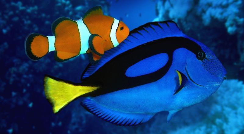 Peixe-palhaço e cirurgião-patela
