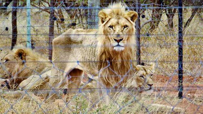 Descobertos 250 leões a passar fome em quinta que cria troféus de caça na África do Sul