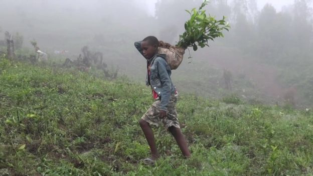 Criança a trabalhar na plantação de chá