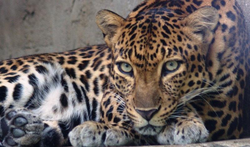 Em apenas 2 anos, leopardos poderão estar extintos no Camboja