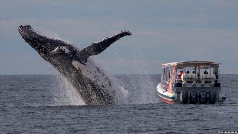 Baleia salta a poucos metros de um barco de turistas em Sydney