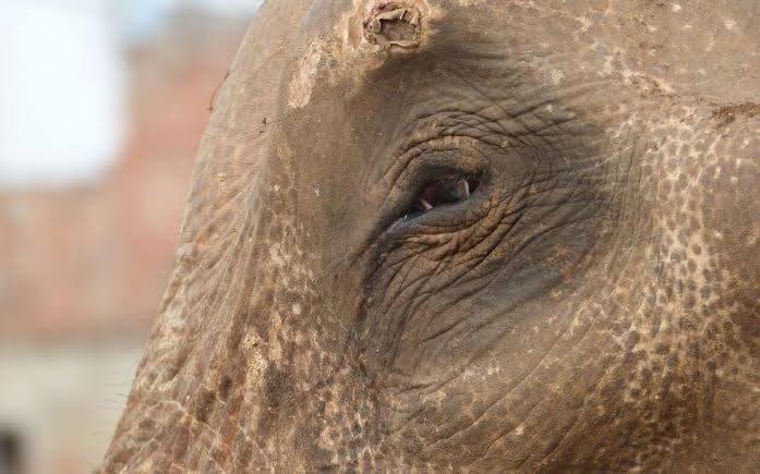 Elefante acorrentado há 50 anos, finalmente livre