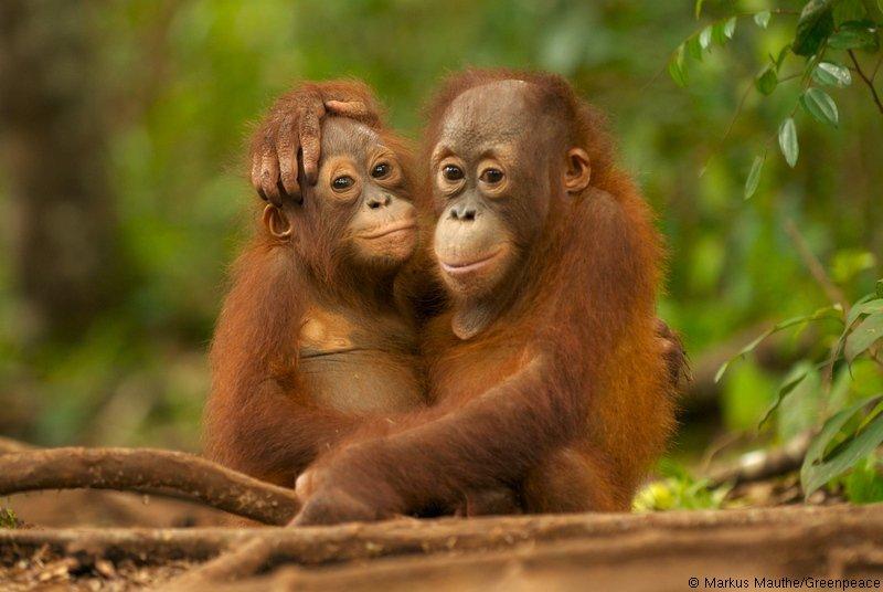 """Orangotango do Bornéu Declarado """"Criticamente Ameaçado"""" – Destruição de Florestas Continua"""
