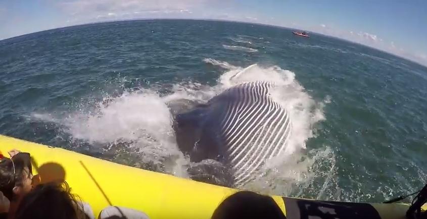 Baleia impressiona turistas no Quebeque [vídeo]