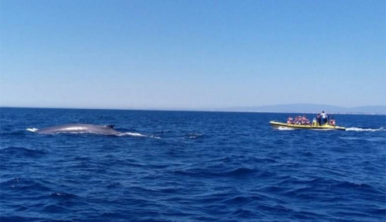 3 baleias com mais de 14 m avistadas no Algarve