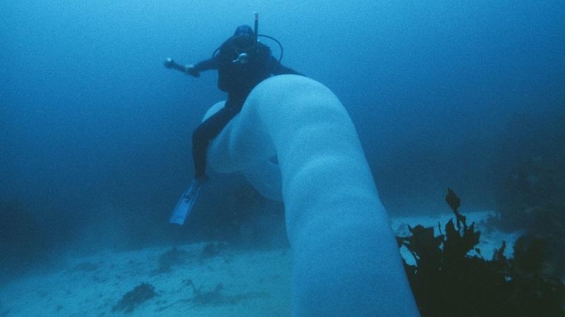 Pyrosomas, os estranhos visitantes do mar dos Açores