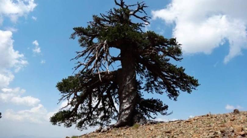"""""""Adonis"""", a árvore mais velha da Europa, segundo a Universidade de Estocolmo"""