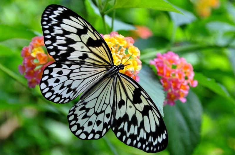 Um jardim para trazer as borboletas de volta à cidade, em Bombaim