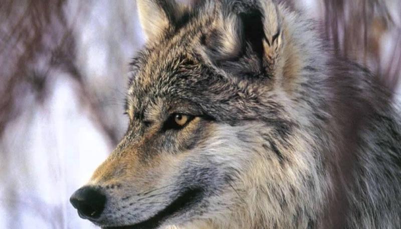 População de Lobos na Noruega Quase Duplicou