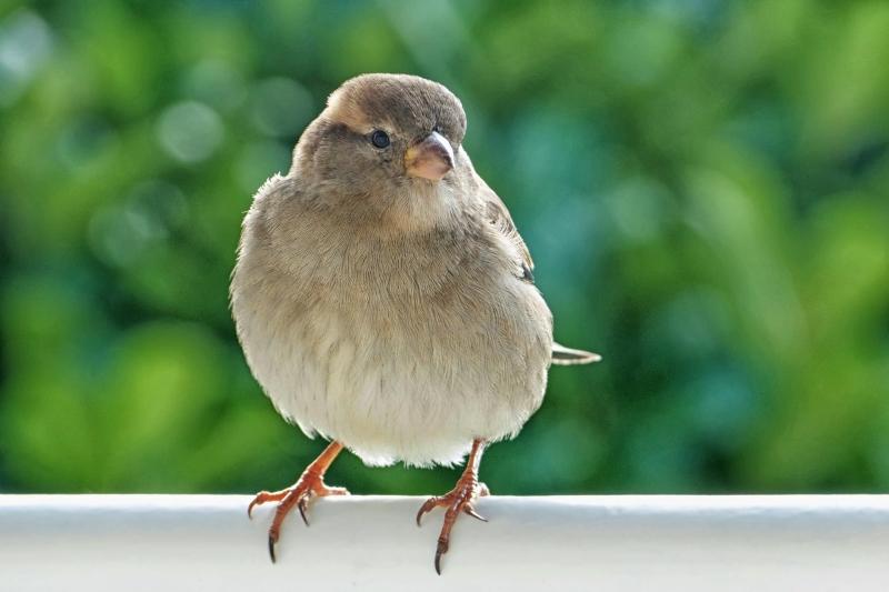 Pássaros da cidade mais agressivos que os do campo – Estudo