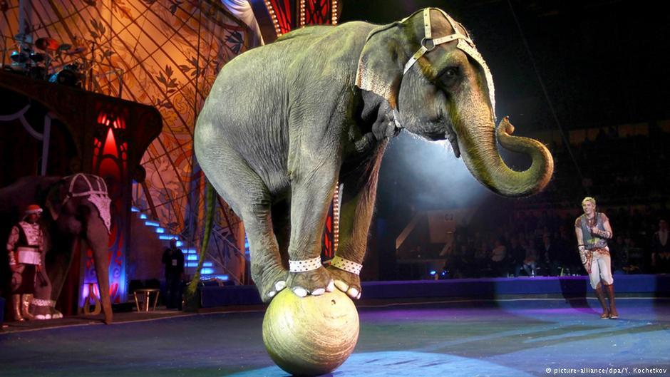 Vitória! Noruega proíbe elefantes nos circos