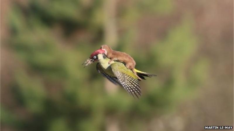 Animais que andam à boleia de outros animais