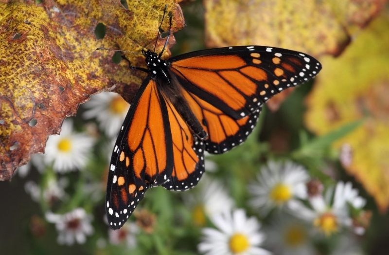 Porque estão as borboletas-monarca a desaparecer aos milhões?