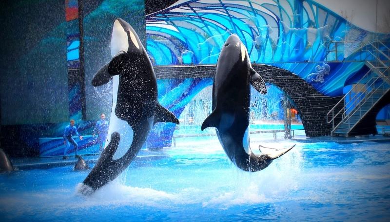 Califórnia proíbe espetáculos e criação de orcas em cativeiro