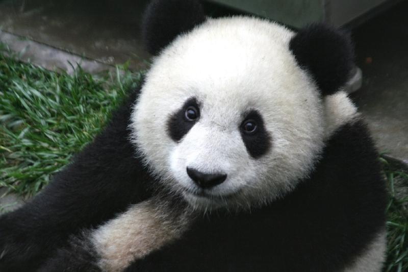 Panda-gigante já não está em risco de extinção