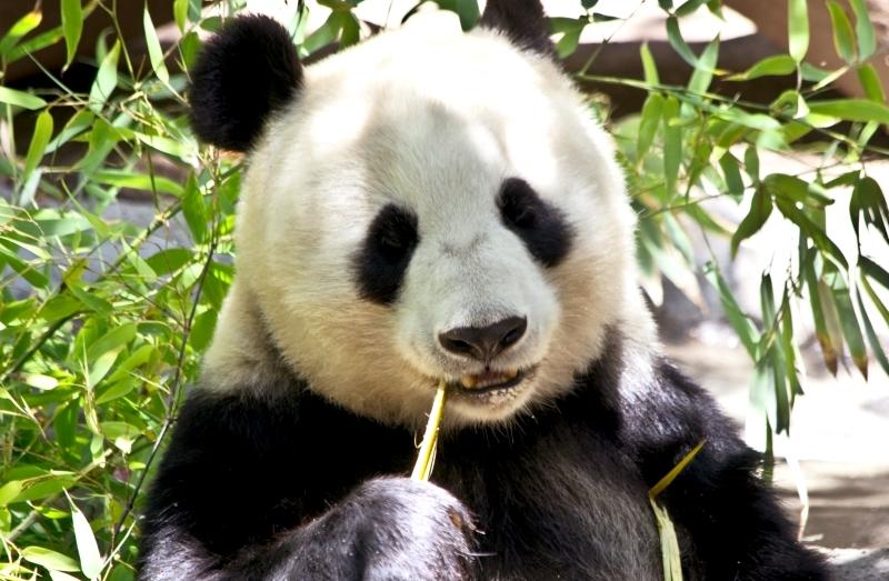 """É """"demasiado cedo"""" para retirar panda da lista de espécies ameaçadas"""