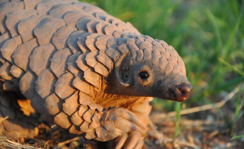 UICN aprova moção para proteger o pangolim – o mamífero mais traficado do mundo