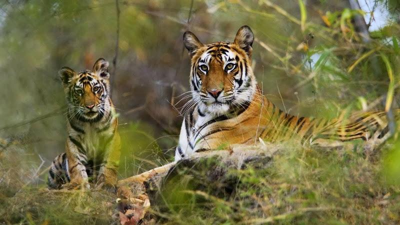 Estrela de Bollywood compra floresta para salvar tigres da Índia