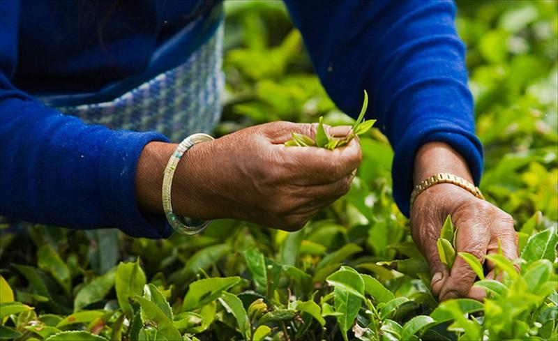 Siquim torna-se o primeiro estado 100% biológico da Índia
