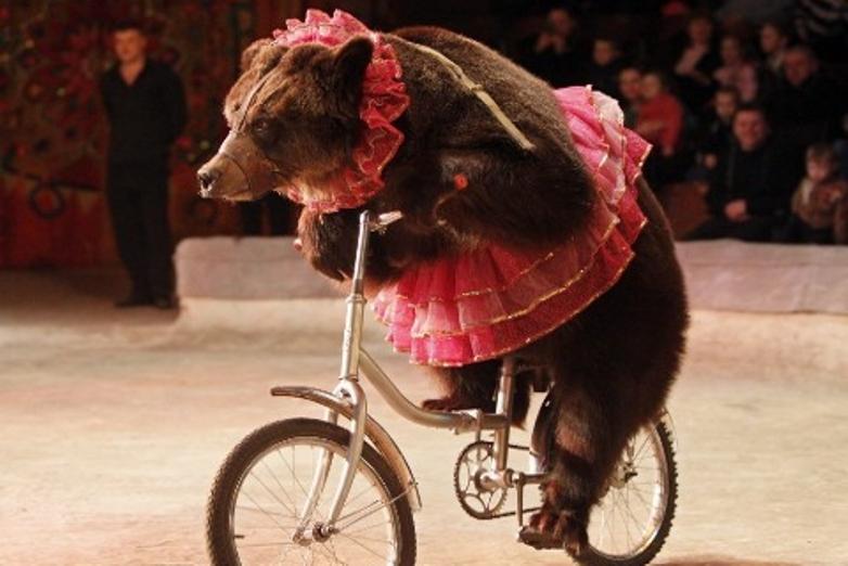 O que acontece a um urso antes de aparecer no circo
