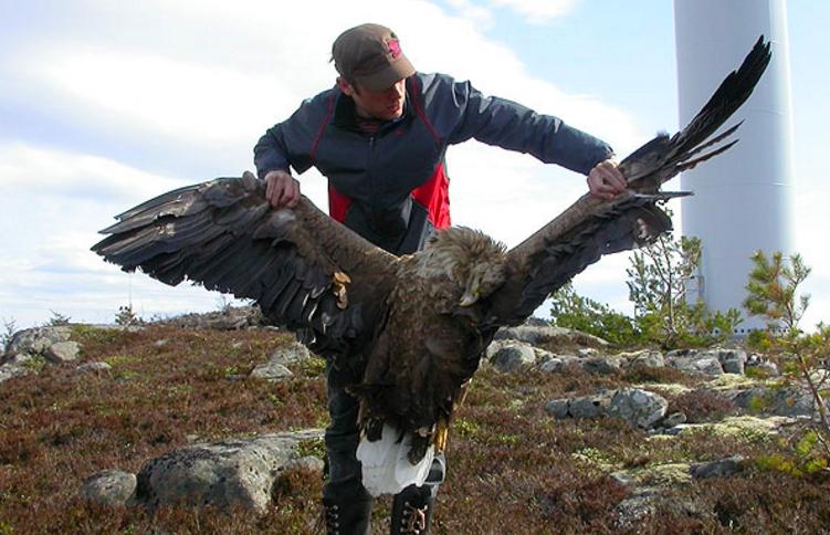 Turbinas eólicas matam mais do que apenas aves locais