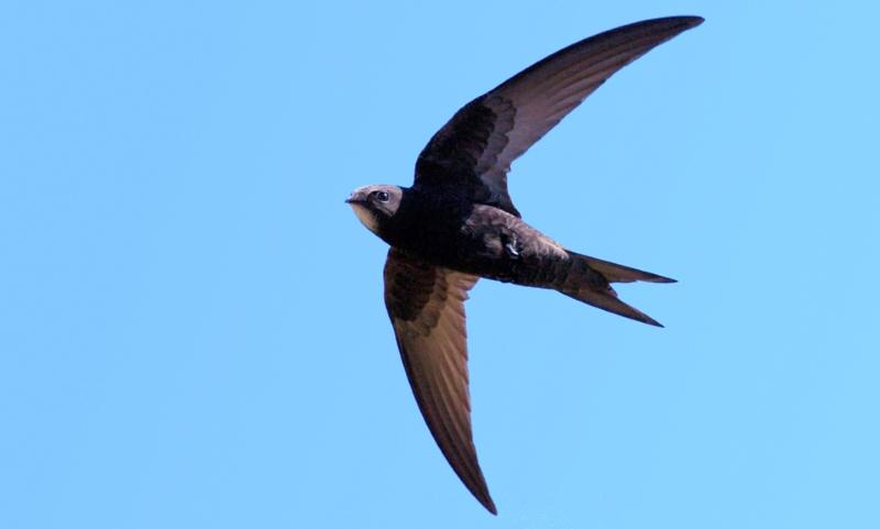Esta ave passa 10 meses a voar sem pousar uma única vez