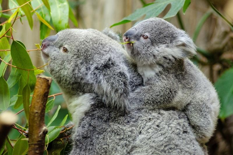 Luz verde para autoestrada ameaça colónia de coalas na Austrália