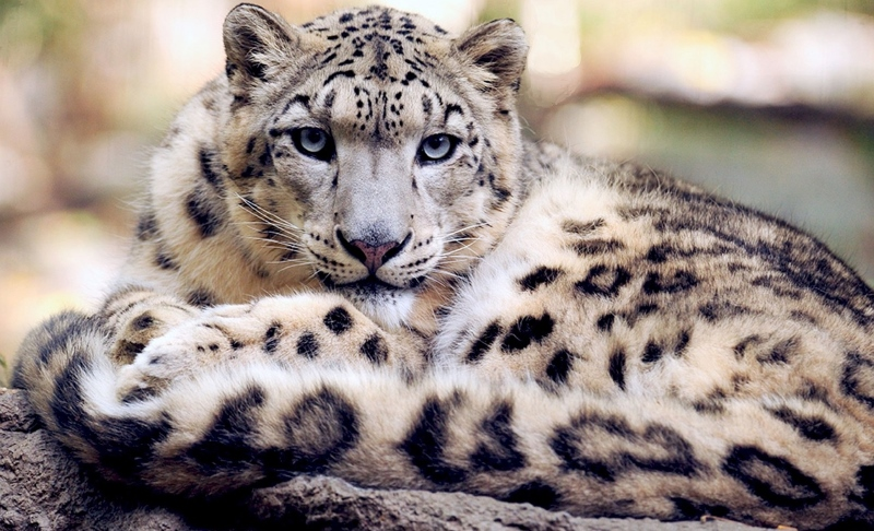 Leopardos-das-neves regressam a um canto remoto do Afeganistão